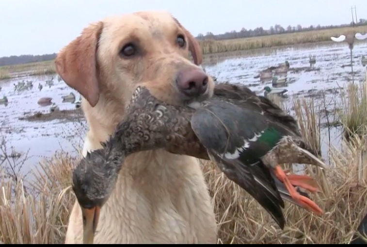 Training Tips For Your Waterfowl Dog Game Amp Fish