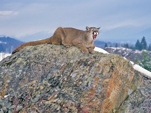 cougar hunting, hunting cougars, cougar