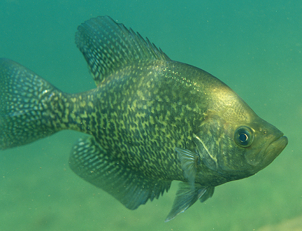 Six surefire tactics for pre spawn crappie game fish for Pictures of crappie fish