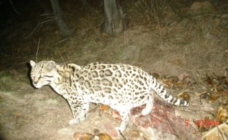 A trail camera set up in the Arizona wilderness appears to have captured a photo of a rare ocelot, though the photo has yet to be verified.
