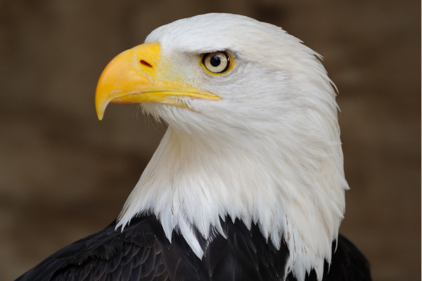 A Native American tribe in Wyoming has been granted a federal permit to kill bald eagles as part of a religious ceremony.
