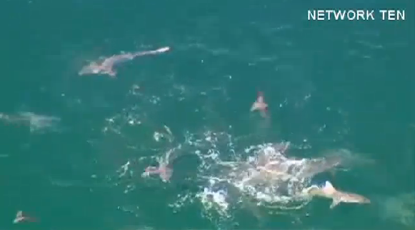 Shark Feeding Frenzy Caught on Camera
