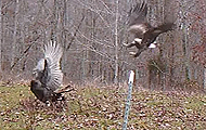 Golden Eagle Attacks Tennessee Tom Turkey