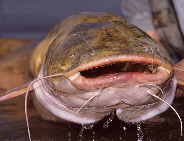Ohio Catfish