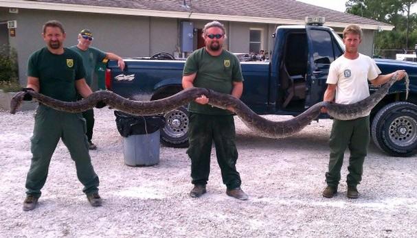 Florida python