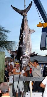 683-Pound Swordfish Caught in Florida Keys