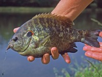 Big shellcrackers are the true trophies for bream anglers. Photo by John E. Phillips.