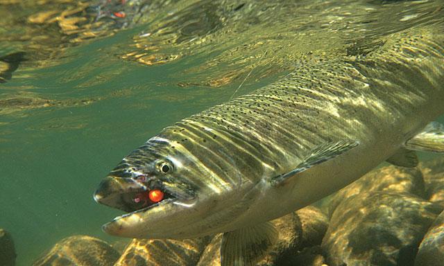 Making Sense of Salmon Scents