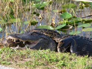 Gator_and_Python
