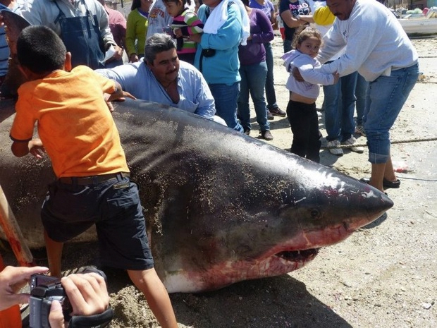 They're gonna need a bigger boat...and a new net.  Two Mexican fisherman hauled in a monster great
