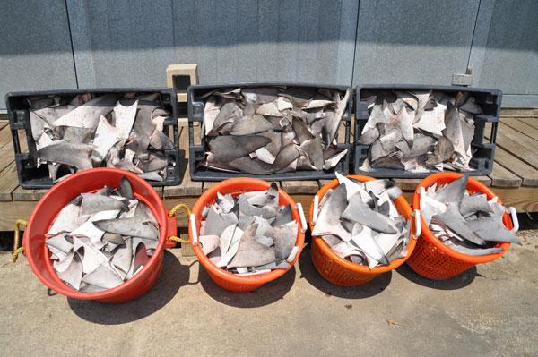 Louisiana Shark Poachers Arrested, 2,073 Shark Fins Confiscated