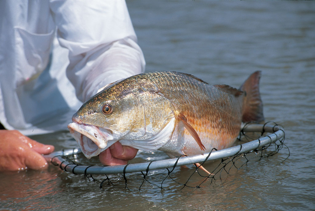 Anglers along the Tar Heel coast can pick their own spots and lures when it comes to early summer redfish fishing.
