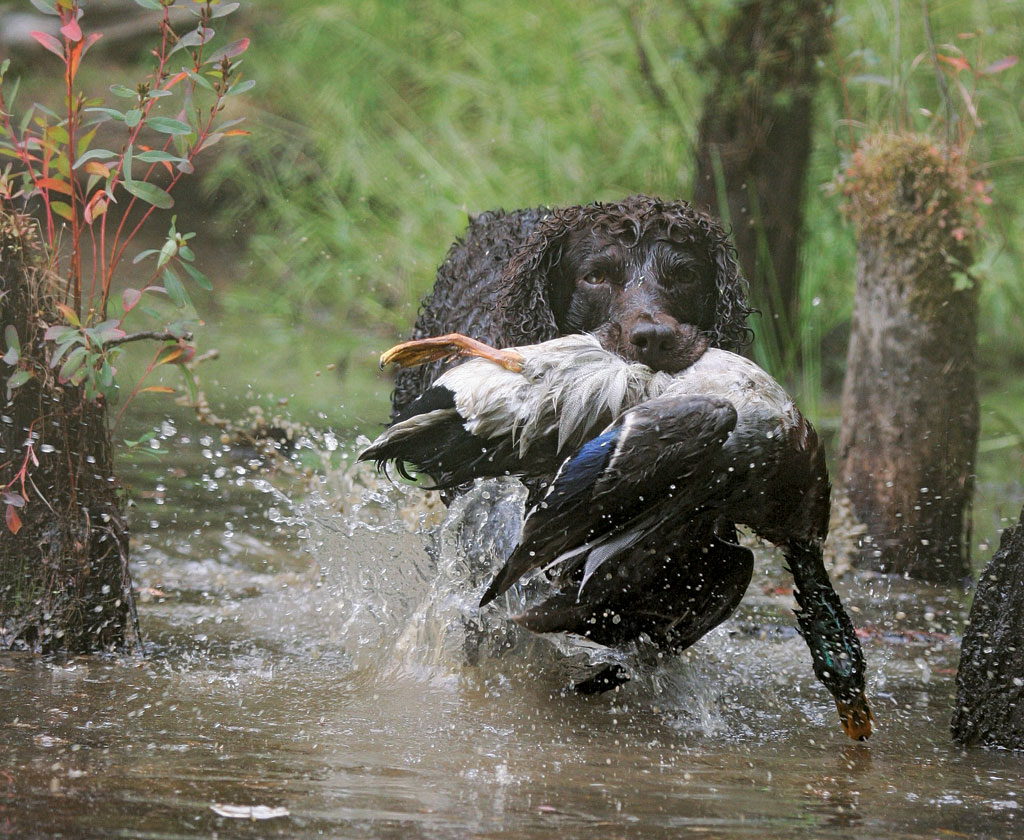 An article that gives tips for keeping senior gun dogs in the hunt.