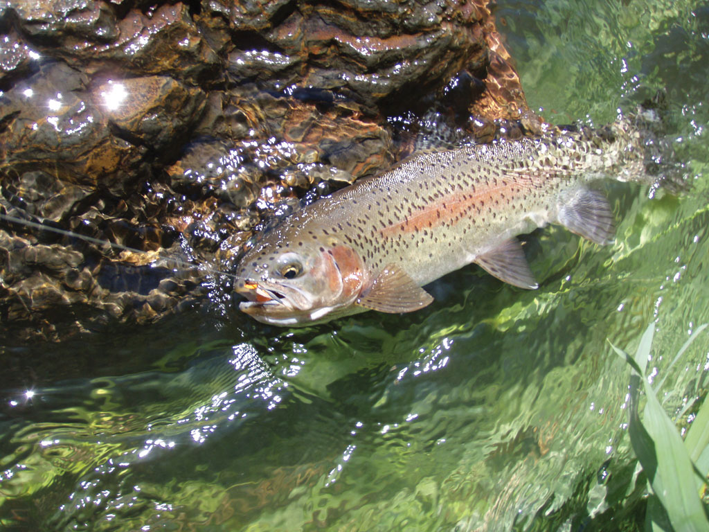 "Deschutes River trout are called ""redsides"" for good reason. Photo by Dennis Dauble."