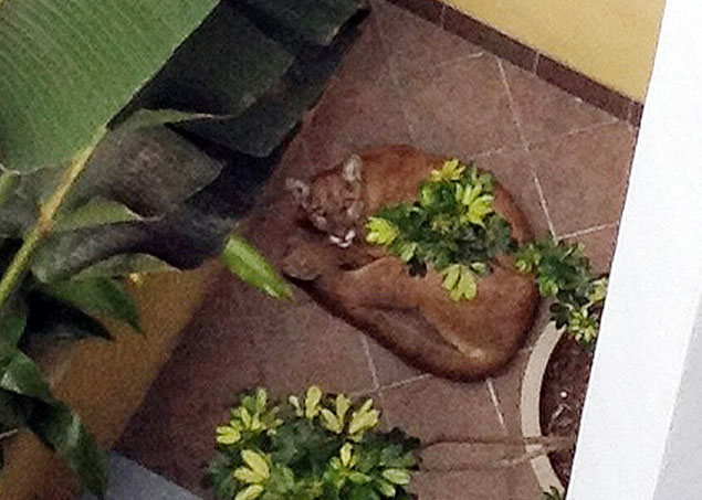 There could have been mountain lion mayhem downtown Santa Monica had a three-year-old female feline