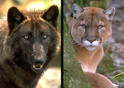 The discovery of two tagged wolves killed by mountain lions has researchers scratching their