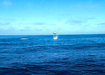 Jumping Mako! Here's a cool video from Mission Bay, California that shows the speed and power of a