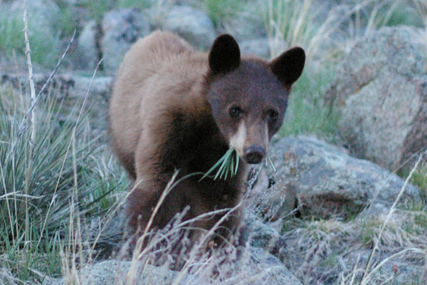 This has not been the ideal summer in bear country -- or at least not in Colorado.  According to