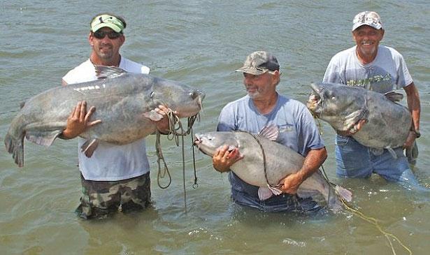Potential South Dakota Record Blue Catfish