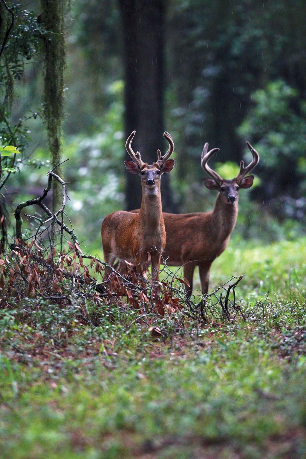 Cover, a year-round water source, forage and deer activity are some of the things you should look for on potential lease property. ■ Photo by Ron Sinfelt.