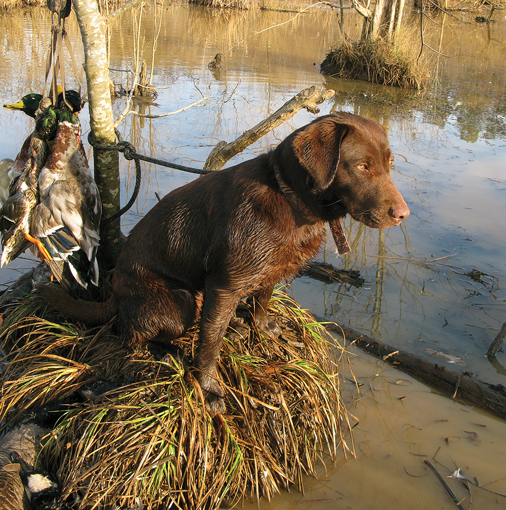 Fair warning for anyone considering the purchase of a hunting-line Labrador retriever: do