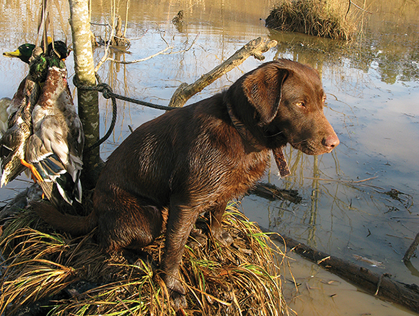 Labrador retrievers are by far the most popular breed for use on duck hunts. ■ Photo by Polly Dean.