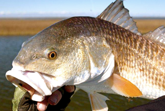 Big, Easy Louisiana Redfish