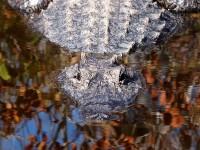 10-800px-American_Alligator-27527-3