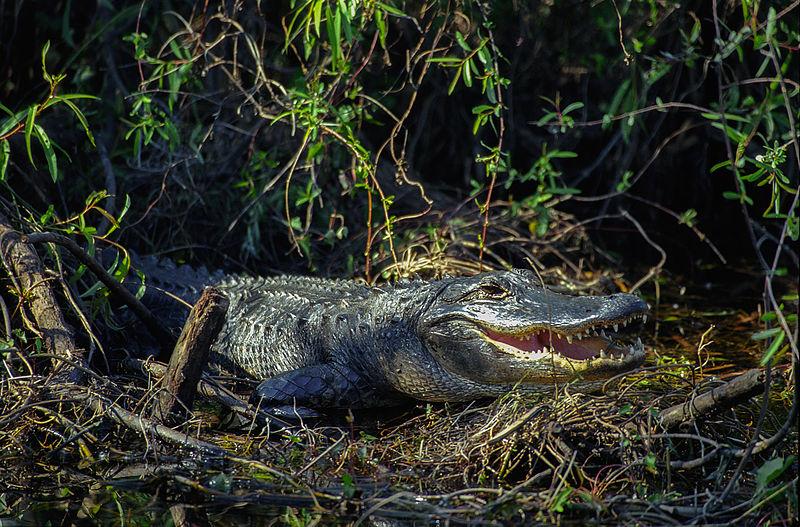 alligator, gator, american alligator, everglades alligator, everglades gator