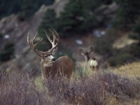 hunting mule deer, where to hunt mule deer in california, mule deer, mulies, muleys