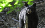 Woman Mauled in Worst Black Bear Attack in Florida History