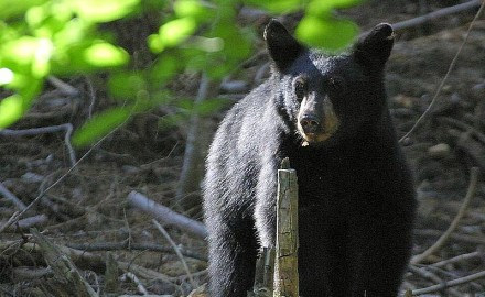 On December 2, 2013, Susan Chalfant was mauled in a black bear attack when walking her dogs in Seminole County, Florida.