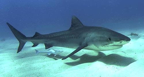 tiger shark, hawaii shark attack, shark attack