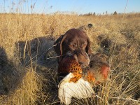 german shorthair, german shorthair with pheasant, pheasant hunting, hunting with dogs