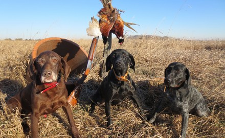 Pheasant hunting in Indiana is a pleasure when you're joined by a passel of German Shorthairs.