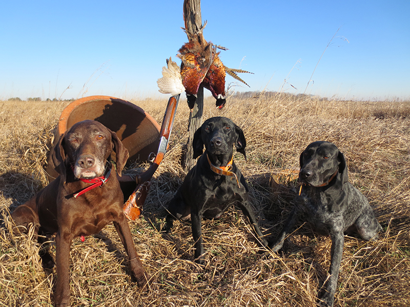 German Shorthairs Make Short Order of Pheasant Hunting in Indiana