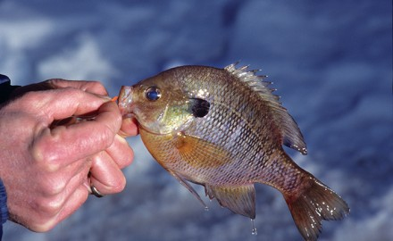 Blue Gill, Sunfish, Shell cracker