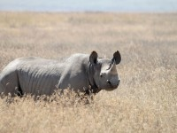 black rhino, hunting black rhino, corey knowlton, black rhino controversy