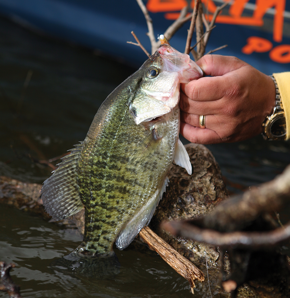 Top options for february crappie fishing in georgia game for Pictures of crappie fish