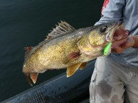 walleye fishing, catching walleye, arkansas walleye