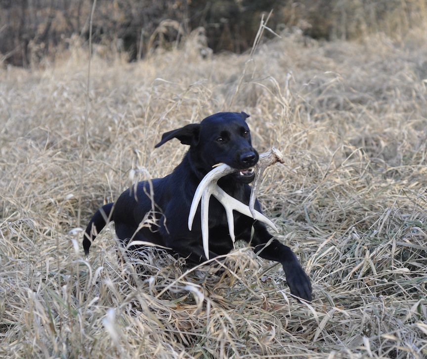 labrador retreiver, lab puppy, shed hunting with dogs, dog shed hunting