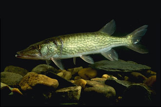 February Fishing in New England: Trout, Pickerel & Bass