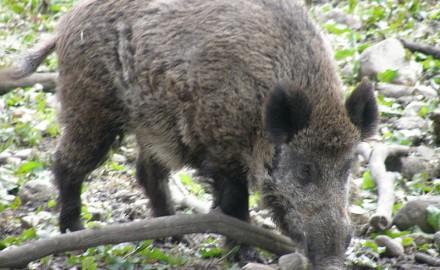 wild boar, wild boar attack, feral hog, wild hog, hog hunting