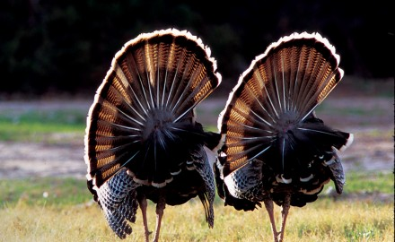 If you're looking to do some Texas turkey hunting this spring, this is your one-stop shop for population numbers, harvest info, and hunting opportunities.