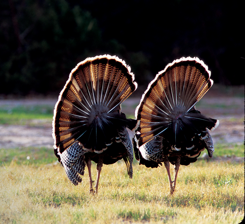 Texas Turkey Hunting Forecast for 2014