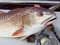 Redfish, Redfish fishing, Shallow water fishing