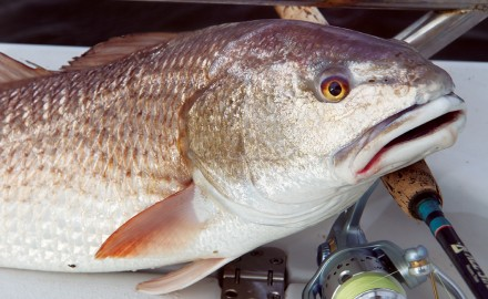 Redfish, Redfish fishing, Shallow water fishing