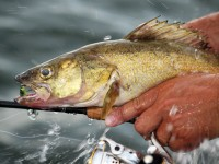 Walleye, Walleye Fishing, Sauger