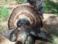 Gobbler, Turkey, Turkey Hunting, Hunting Turkey, Texas Turkey Hunting