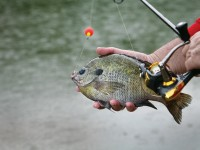 Bream, Bluegills, Bluegill Fishing, Panfish